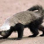 220px-Honey_badger